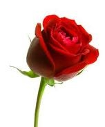 Red Rose , rose,propose day,red rose,valentine day