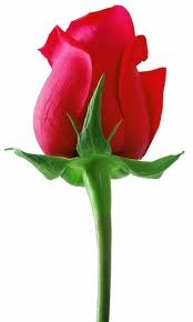 Cute Red Rose , rose,propose day,red rose